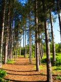 δέντρα πεύκων μονοπατιών στοκ φωτογραφίες με δικαίωμα ελεύθερης χρήσης