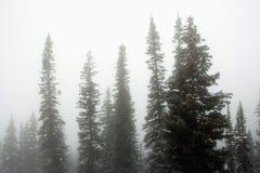 δέντρα πεύκων ομίχλης Στοκ εικόνες με δικαίωμα ελεύθερης χρήσης