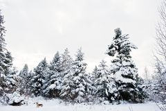 Δέντρα πεύκων που καλύπτονται από το χιόνι και το μόνο σκυλί Όμορφο χειμερινό έδαφος στοκ φωτογραφία με δικαίωμα ελεύθερης χρήσης