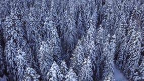 Δέντρα πεύκων που καλύπτονται με το χιόνι με ένα copter επάνω από την όψη εναέρια όψη απόθεμα βίντεο