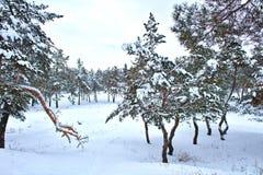 Δέντρα πεύκων που καλύπτονται με το χιόνι στο παγωμένο βράδυ Όμορφο χειμερινό δασικό τοπίο στις χιονοπτώσεις στοκ εικόνα