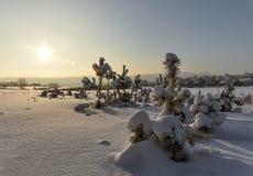 Δέντρα πεύκων που καλύπτονται με το ηλιοβασίλεμα χιονιού Στοκ Εικόνες
