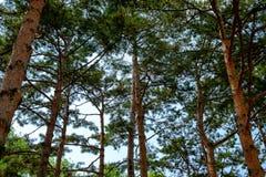 Δέντρα πεύκων που παράταξαν τα ίδια χρονικά μέρη του δάσους πεύκων Στοκ εικόνες με δικαίωμα ελεύθερης χρήσης