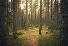 Δέντρα πεύκων που στέκονται μαζί με τα συμπαθητικά φω'τα και τον ήλιο Δασικό θέμα Στοκ Εικόνα