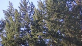 Δέντρα πεύκων που ταλαντεύονται στον αέρα, ουρανός φιλμ μικρού μήκους