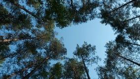 Δέντρα πεύκων που ταλαντεύονται στον αέρα ενάντια στο μπλε ουρανό απόθεμα βίντεο