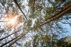 Δέντρα πεύκων που τεντώνουν προς τα πάνω προς τον ουρανό Στοκ εικόνα με δικαίωμα ελεύθερης χρήσης