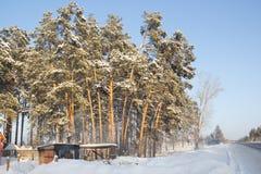 Δέντρα πεύκων που φωτίζονται από την εθνική οδό ` Baikal ` ήλιων στην περιοχή Kurgan, της Ρωσίας Στοκ φωτογραφίες με δικαίωμα ελεύθερης χρήσης