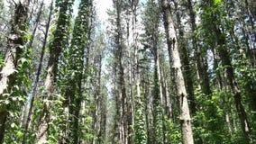Δέντρα πεύκων σε ένα δάσος φιλμ μικρού μήκους