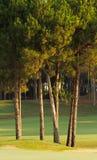 Δέντρα πεύκων σε ένα πράσινο λιβάδι Στοκ Εικόνες