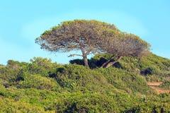 Δέντρα πεύκων στην κορυφή λόφων Στοκ Φωτογραφίες