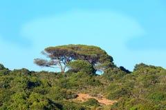 Δέντρα πεύκων στην κορυφή λόφων Στοκ εικόνα με δικαίωμα ελεύθερης χρήσης