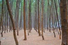 Δέντρα πεύκων στην παραλία Στοκ Φωτογραφίες