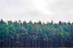 Δέντρα πεύκων στην παραλία Στοκ φωτογραφίες με δικαίωμα ελεύθερης χρήσης