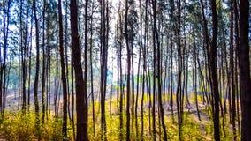 Δέντρα πεύκων στην παραλία Στοκ Εικόνες