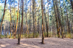 Δέντρα πεύκων στην παραλία Στοκ φωτογραφία με δικαίωμα ελεύθερης χρήσης