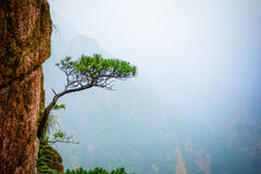 Δέντρα πεύκων στον απότομο βράχο στοκ εικόνες