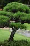 Δέντρα πεύκων στον ιαπωνικό κήπο Στοκ εικόνα με δικαίωμα ελεύθερης χρήσης
