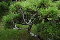 Δέντρα πεύκων στον ιαπωνικό κήπο Στοκ Εικόνες