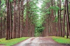Δέντρα πεύκων στον κήπο Στοκ Εικόνες