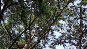 Δέντρα πεύκων στο δάσος απόθεμα βίντεο
