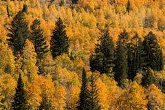 Δέντρα πεύκων στο άλσος της Aspen με τα φύλλα φθινοπώρου Στοκ εικόνα με δικαίωμα ελεύθερης χρήσης
