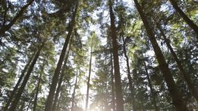 Δέντρα πεύκων στο φωτεινό φως του ήλιου απόθεμα βίντεο