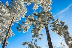 Δέντρα πεύκων στο hoarfrost ενάντια στο μπλε ουρανό Στοκ εικόνες με δικαίωμα ελεύθερης χρήσης