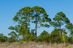Δέντρα πεύκων της Φλώριδας στον αμμόλοφο παραλιών Στοκ Φωτογραφία