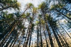 Δέντρα πεύκων το απόγευμα Στοκ Φωτογραφία