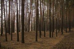 Δέντρα πεύκων το δασικό βράδυ πτώσης φθινοπώρου στα καφετιά χρώματα στοκ εικόνα