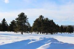 Δέντρα πεύκων το χειμώνα σε ένα γήπεδο του γκολφ Στοκ Φωτογραφίες