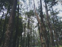Δέντρα πεύκων φυσικά στοκ εικόνα με δικαίωμα ελεύθερης χρήσης