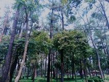 Δέντρα πεύκων φυσικά στοκ φωτογραφίες με δικαίωμα ελεύθερης χρήσης