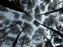 Δέντρα πεύκων στοκ εικόνα με δικαίωμα ελεύθερης χρήσης