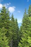 δέντρα πεύκων στοκ εικόνες