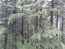 Δέντρα πεύκων Στοκ Φωτογραφίες