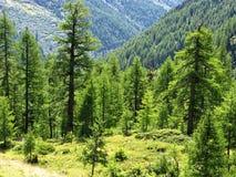 Δέντρα πεύκων Arolla που πιάνουν το φως κοντά στο χωριό Arolla, Ελβετία Στοκ φωτογραφία με δικαίωμα ελεύθερης χρήσης