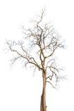 Δέντρα που απομονώνονται νεκρά Στοκ φωτογραφία με δικαίωμα ελεύθερης χρήσης