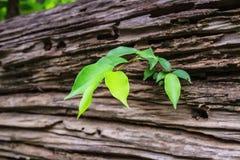 Δέντρα που αυξάνονται στο παλαιό ξύλο Στοκ Εικόνα