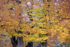 Δέντρα που καλύπτονται από έναν παχύ θάμνο των φύλλων με τα έντονα χρώματα φθινοπώρου Στοκ φωτογραφία με δικαίωμα ελεύθερης χρήσης