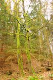 Δέντρα που καλύπτονται με το βρύο Στοκ Εικόνες