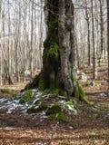 Δέντρα που καλύπτονται με το βρύο Στοκ Φωτογραφία
