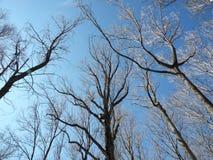 Δέντρα που φθάνουν στον ουρανό Στοκ εικόνα με δικαίωμα ελεύθερης χρήσης