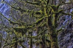 Δέντρα πυξαριού, βρύο-που καλύπτονται στοκ εικόνα με δικαίωμα ελεύθερης χρήσης