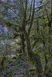 Δέντρα πυξαριού, βρύο-που καλύπτονται στοκ φωτογραφία με δικαίωμα ελεύθερης χρήσης
