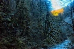 Δέντρα πυξαριού, βρύο-που καλύπτονται στοκ φωτογραφίες