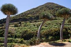 Δέντρα δράκων στο νησί του Λα Palma στοκ φωτογραφία