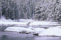 Δέντρα ρευμάτων και πεύκων στο χιόνι Στοκ εικόνα με δικαίωμα ελεύθερης χρήσης