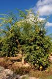 δέντρα ροδιών καρπών Στοκ Φωτογραφία
